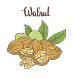 Walnuts isolated on white background. Royalty Free Stock Photos