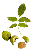Walnuts with leaves composition. Walnuts with leaves isolated with c/p stock images