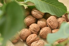 Walnuts and leaves stock photo