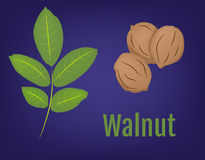 Walnuts with Leaves vector background Royalty Free Stock Image