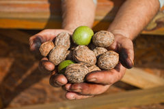 Walnuts in man hands. Generous hands full with nuts outdoors stock photos