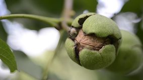 Walnuts ready on branch. Ripe walnut inside cracked green shell on tree branch ready to go by late summer stock video footage