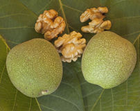 Walnuts. Ripening and cracked walnuts background Royalty Free Stock Images