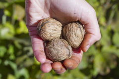 Walnuts. Three walnuts in a hand Royalty Free Stock Photos