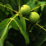 Walnuts tree. A close up view Royalty Free Stock Photography