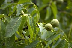 Walnuts on the tree Royalty Free Stock Images