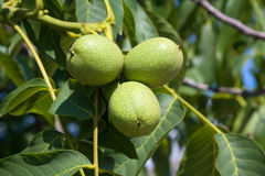 Walnuts on a tree Royalty Free Stock Image