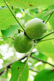 Walnuts on a tree. Walnuts keep up on a tree Stock Photography