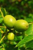 Walnuts on a tree Stock Image