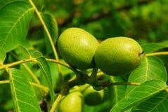 Walnuts on a tree Stock Photos