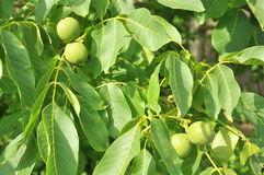 Walnuts on a tree. Green walnuts growing on a tree Stock Images