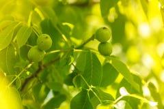 Walnuts on a tree Royalty Free Stock Image