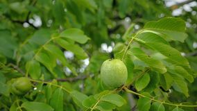 Walnuts on tree before harvest. Uncooked green nuts and leaves on branch bobbing in the wind. stock video