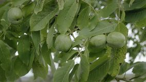 Walnuts on tree before harvest. Uncooked green nuts and leaves on branch floating in wind. Autumn rural rustic background with vegetable. Agriculture maize stock video footage