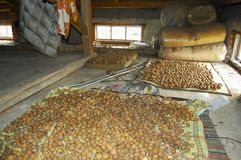Walnuts. Drying in Old Attic Stock Photo