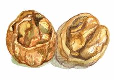 Walnuts in a water color. On a white background Stock Photo