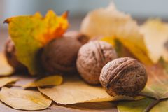Walnuts in yellow leaves. Warm autumn picture. Stock Photo