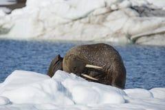 Walroß auf Eisfluß stockbilder