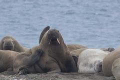 Walroß mit seinen Freunden stockfoto
