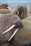 Walroßfamilienladung heraus stockfotos