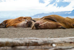 Walrosse, die auf dem Ufer in Svalbard, Norwegen liegen Lizenzfreies Stockfoto
