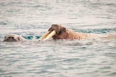 Walrosse, die im Meer schwimmen lizenzfreie stockfotografie