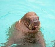 walrus выражения Тихий океан удивленный Стоковое Изображение RF