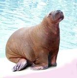 Walrus в воде Стоковое Фото