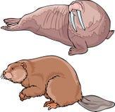 Walrus и бобр Стоковое Фото