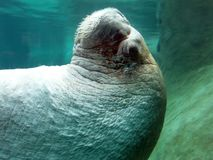 Walrus Конца-вверх Стоковое фото RF