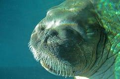 Walrus подводный Стоковые Изображения