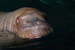 walrus Стоковые Фото
