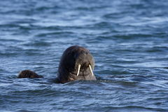 Walrus. In the Atlantic ocean, Svalbard, Arctic Circle stock photography