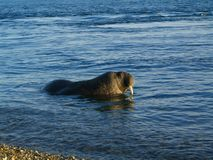 Walrus. On Svlabard beach, Arctic Circle stock image