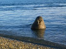 Walrus Royalty Free Stock Photos