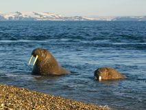 Walrus. On Svlabard beach, Arctic Circle royalty free stock images