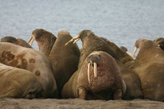 Walrus Stock Photo