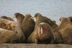 walrus Стоковое Фото