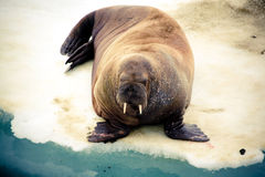 Walrus Royalty Free Stock Images