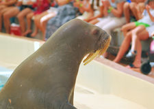 walrus Стоковые Фотографии RF