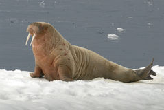 Walrus. On the ice in the Sppitsbergen