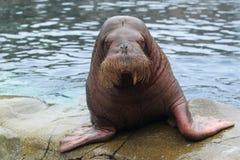 Walrus Royalty-vrije Stock Foto's