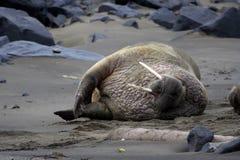 walrus Стоковое Изображение RF