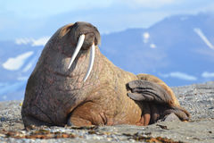 walrus fotos de stock royalty free