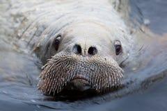 walrus Stock Afbeeldingen