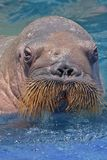 walrus Fotografie Stock