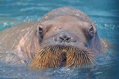 walrus Immagini Stock