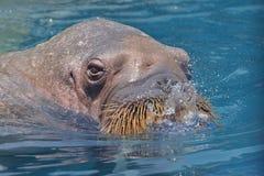 walrus Immagini Stock Libere da Diritti