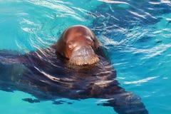 walrus Стоковое фото RF