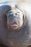 walrus Stockbild